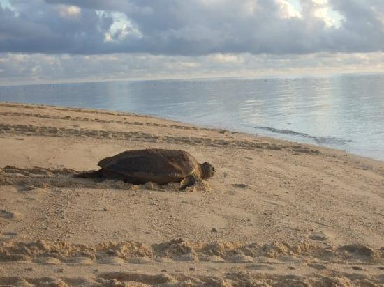 Turtle Island Park: turtle after laying eggs