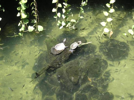 Tropical Escape Hotel: Turtles in Tropical CB cenote