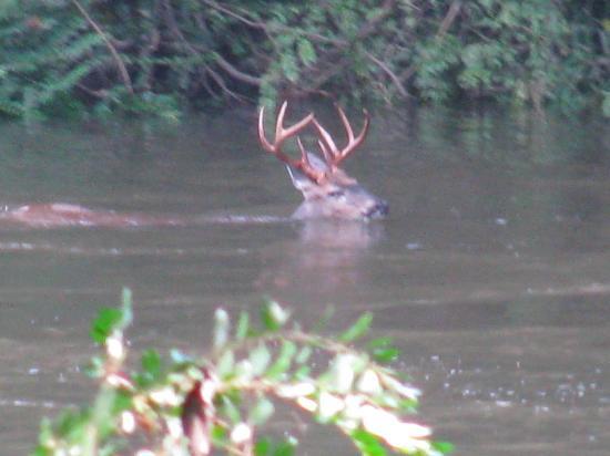 Diamond John's Riverside Retreat: Deer swimming in river-taken from treehouse deck