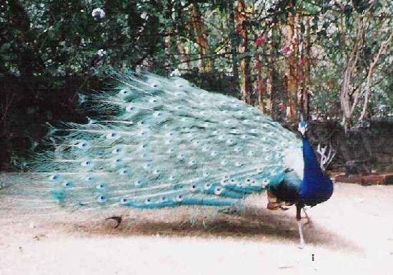 Birds and Paradise : peacocks in the lower garden