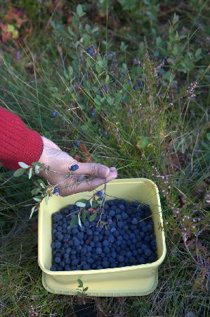 Stamsund Hostel: Blueberries picking near the Hostel