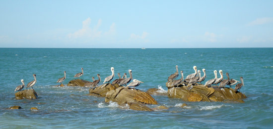 Pelicans of South Beach San Felipe