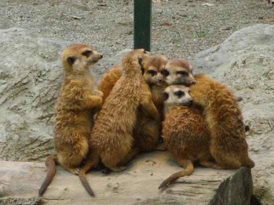 Zagreb, Kroatien: meerkats