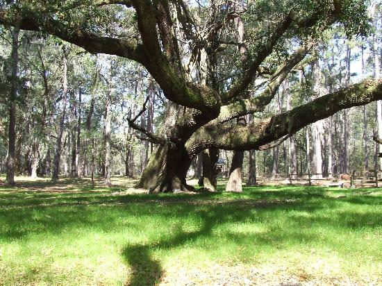 ‪‪Dunham Farms‬: A 300-year-old live oak tree at Palmyra‬