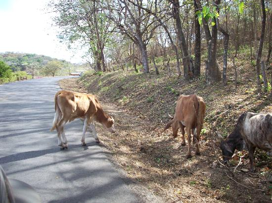Hotel Las Tortugas: watch for cows in the road