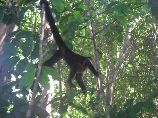 Arenas del Mar Beachfront & Rainforest Resort : Monkeys on the property
