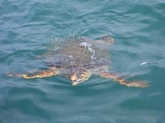 Trapezaki, Greece: Turtle in Argostoli harbour