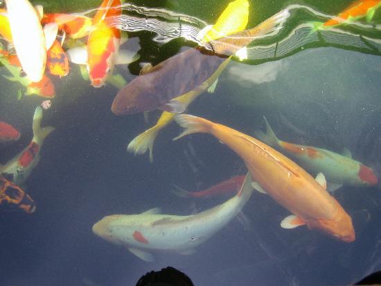 Koi Fish Feeding Picture Of Pullman Bangkok King Power