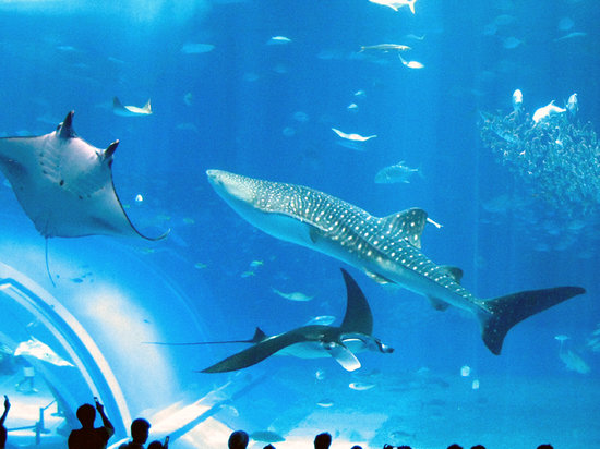 Okinawa Churaumi Aquarium (Motobu-cho, Japan): Top Tips Before You Go - TripA...