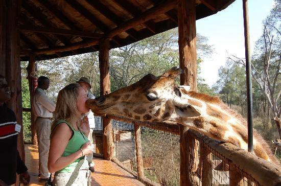 Nairobi, Kenya: A Giraffee kiss
