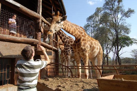 Nairobi, Kenya: Feeding the giraffes