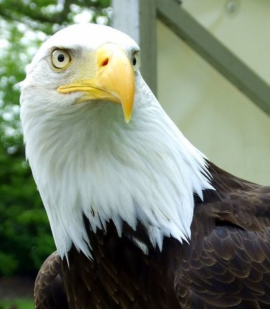 Ballymote, Ireland: Alaska the bald eagle