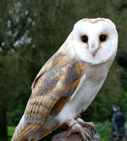 Ballymote, ไอร์แลนด์: Barn owl