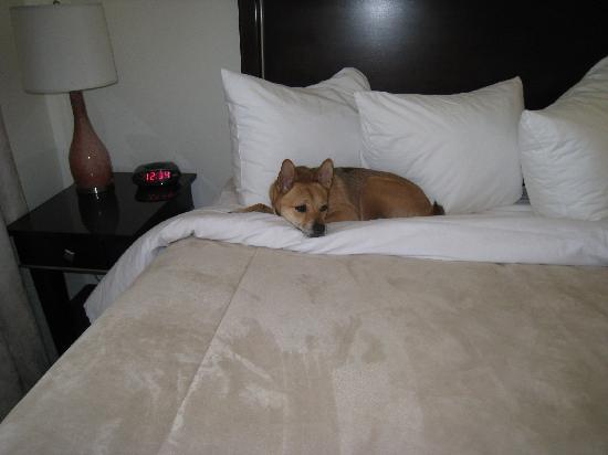 Hotel Extended Studio: Chica in bed - right before I shooshed her off.