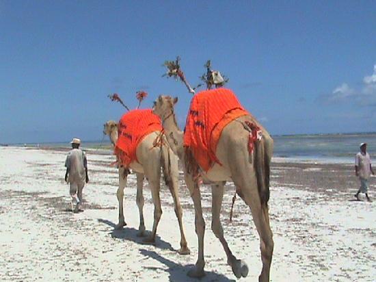 Camel rides, Diani beach!