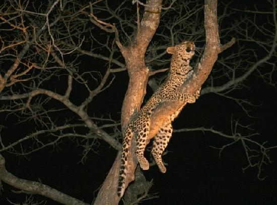 Détente du léopard- safari de nuit - Picture of South Africa, Africa