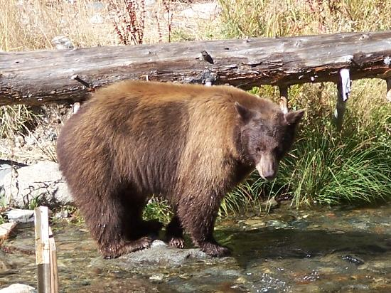 Tahoe Photographic Tours: A brown bear fishing for salmon.