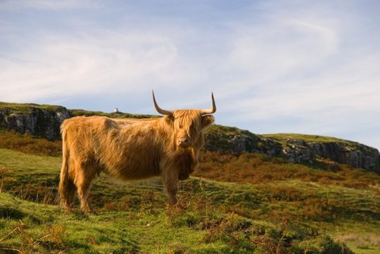 Isle of Mull, UK: Highland cow