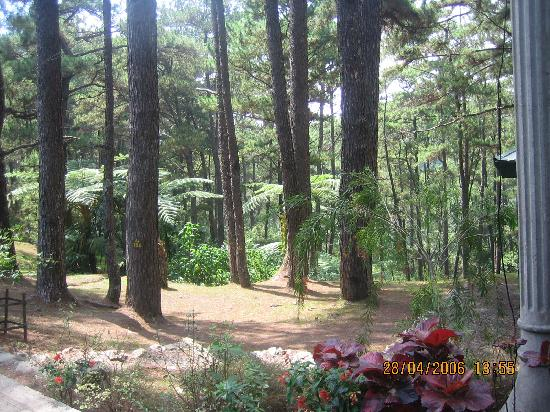 The Manor at Camp John Hay: CJH Pine Trees