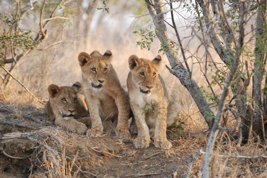 Kapama River Lodge: Kapama cubs
