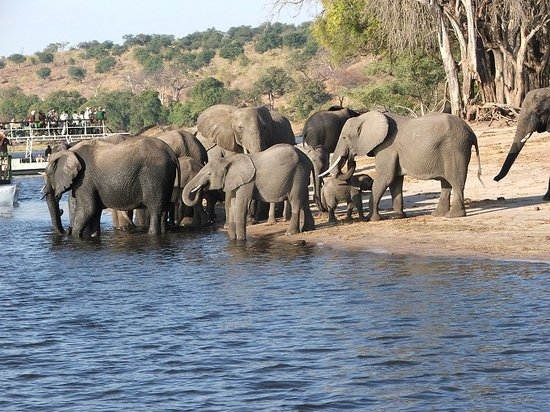 Chobe Safari Lodge: elephants - Chobe