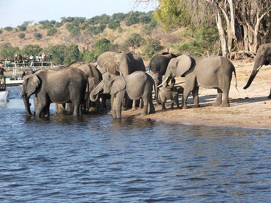 Chobe Safari Lodge : elephants - Chobe