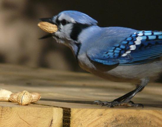 Forest and Stream Cottages: Blue Jays eat just feet from you