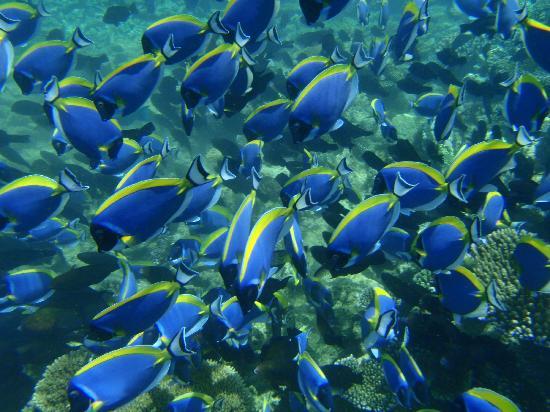 Athuruga Island: Snorkelling pics Surgeon fish