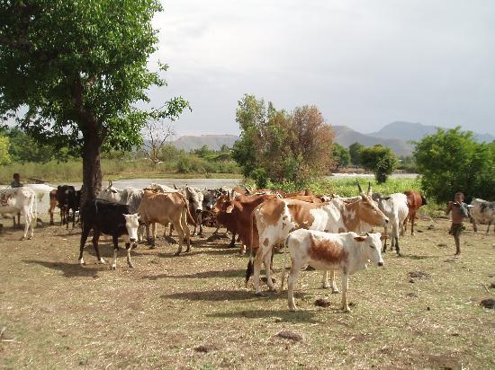 Amhara Region, Etiopía: Troupeau de bovins en amont des chutes du nil bleu