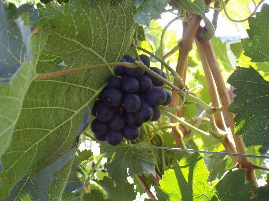 Sumac Ridge Estate Winery: vineyard