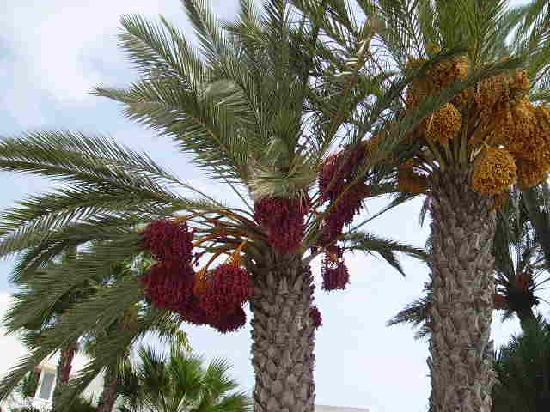Iberostar Mehari Djerba: palmiers à l'entrée de l'hôtel