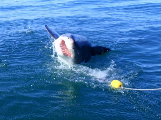 Cliff Lodge: Great white shark