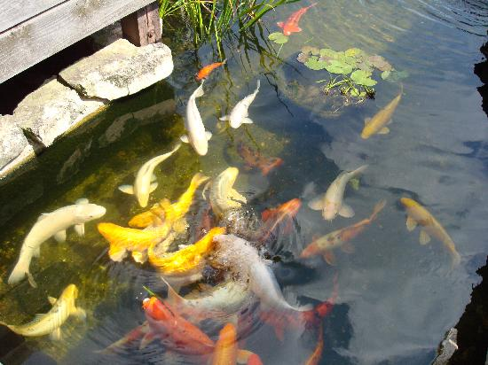 Botanica: The Wichita Gardens: Koi Carp pond Botanica
