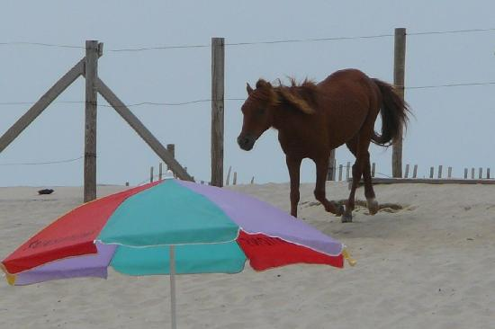 Мэриленд: Horse running onto the beach at Assateague Island