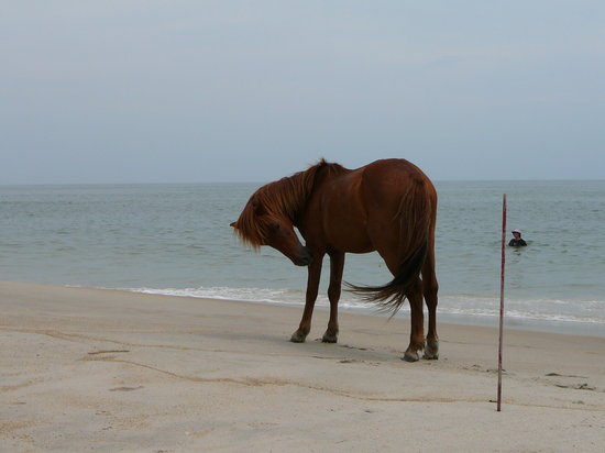 Assateague Island National Seashore: Horse & the beach/ocean at Assateague Island