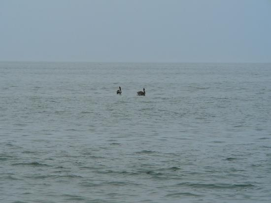 Мэриленд: Pelicans in the ocean at Assateague Island