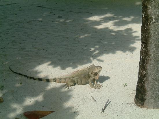 Palm Island Resort & Spa : Iguana near restaurant