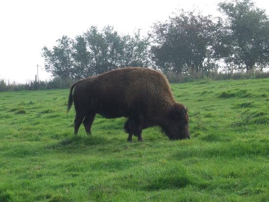Noah's Ark Zoo Farm: American Bison in America Area