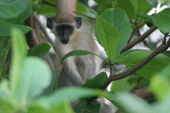 Cherry Tree Apartments: Green Monkey, vor den Apartments