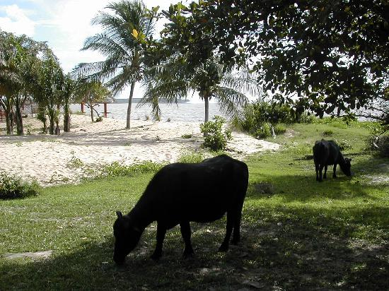 Hotel Ilha do Marajo: Bufali pascolano sulla spiaggia del fiume (1)