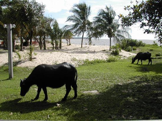 Ilha do Marajó, PA: Bufali pascolano sulla spiaggia del fiume (3)