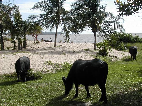 Ilha do Marajó, PA: Bufali pascolano sulla spiaggia del fiume (4)