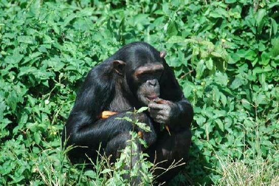 Chimp Ngamba Island Uganda