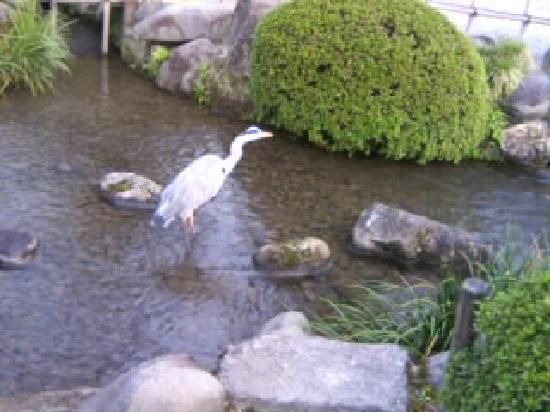 金沢市, 石川県, 兼六園のシラサギ