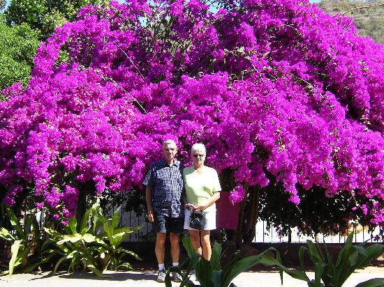 Teacapán, México: Have you ever seen a bougainvellia so large?