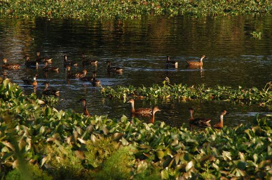 West Indian Whistling Ducks as seen at Royal Palm Reserve