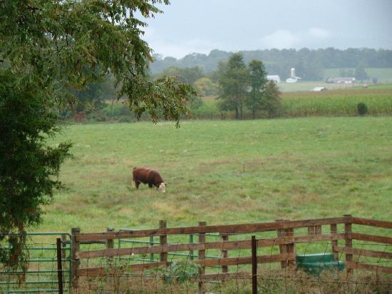 """Piney Hill Bed & Breakfast: our """"friends""""--from the back deck.  We woke everyday to the sounds of cows """"moo-ing""""!  It was gr"""