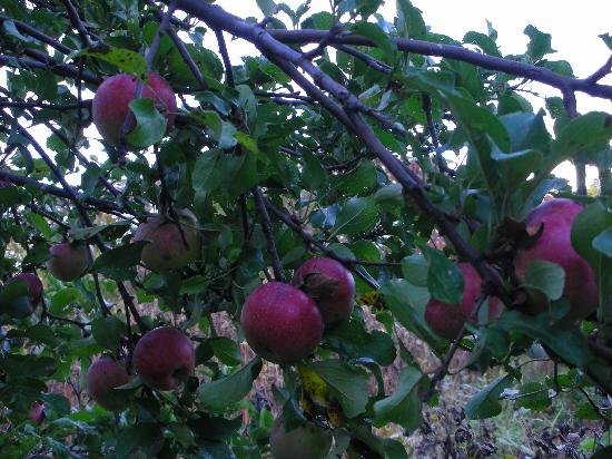 Ilion, NY: Organic Apples