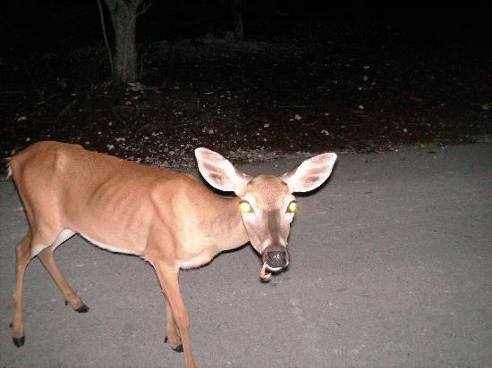Big Pine Key, فلوريدا: key deer