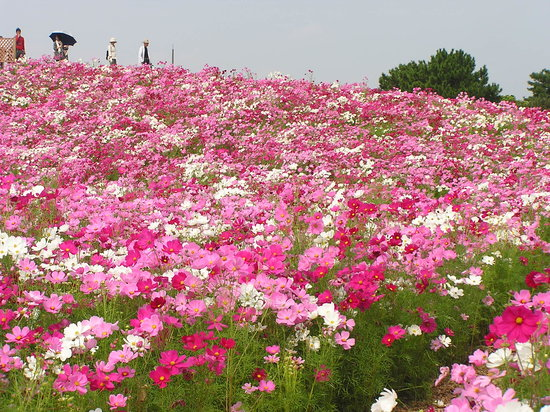 福岡市, 福岡県, 100万本のコスモスの丘
